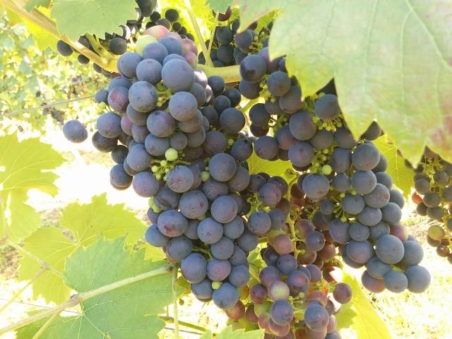 Grappa ist kein Traubenbrand: Fakten über die feine Spirituose aus Italien