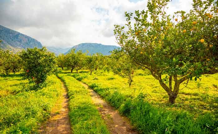 Blühender Zitronenbaum kurz vor der Ernte