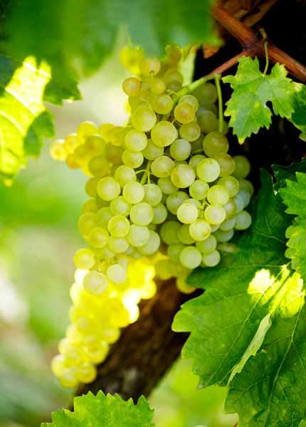 Für die Herstellung von Cognac werden ausschließlich weiße Trauben verwendet