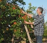 Obst für Prinz Schnaps: Für einen guten Obstbrand werden nur die besten Früchte verwendet